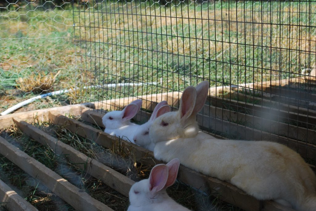 Rabbits in the shade cooling themselves